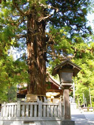 諏訪大社寝入りの杉