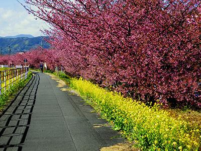 早咲きの山の手さくら